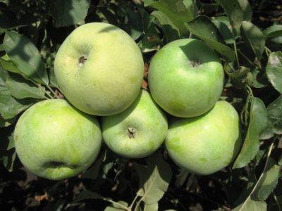 сорт яблок рихард
