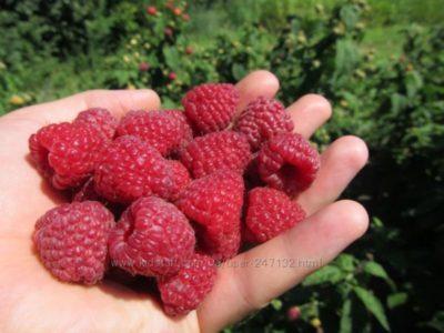 болезни ягод малины