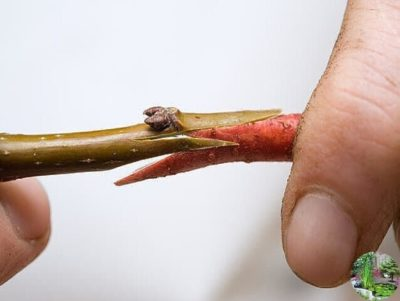 прививка яблони в мае