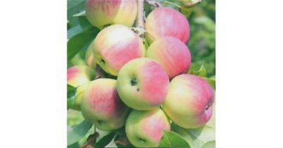 сорта яблонь для алтайского края