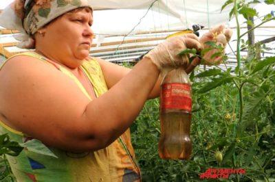 опыление помидор в теплице