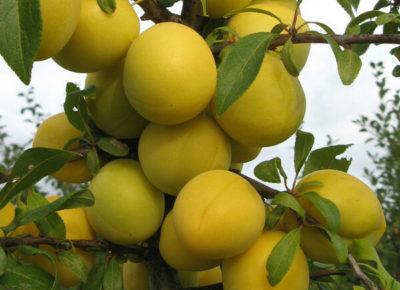 желтая слива сорта