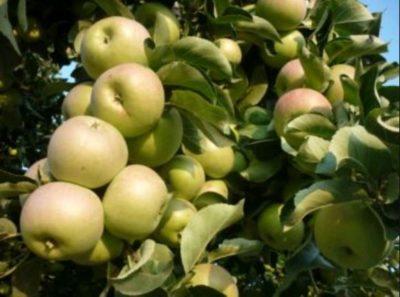 когда удобрять яблони