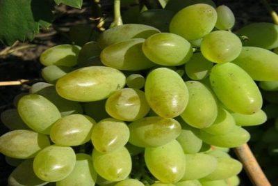 сорт винограда кристалл
