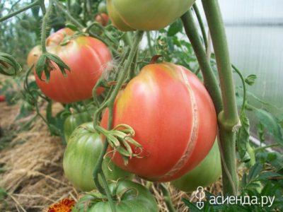 трескаются помидоры что делать