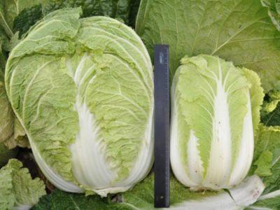 болезни белокочанной капусты и борьба с ними
