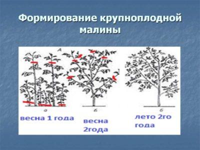 расстояние между саженцами яблони