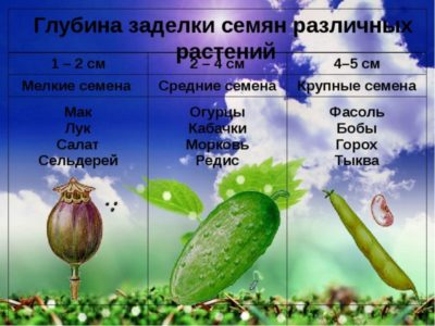 на какую глубину сажать семена огурцов