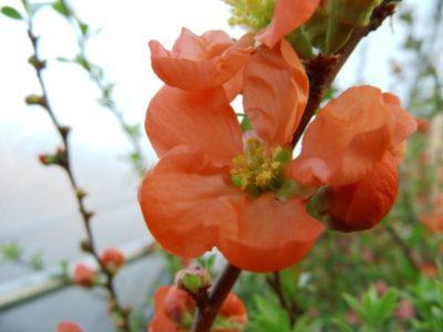 как посадить айву весной