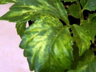 желтые пятна на листьях рассады томатов